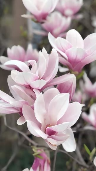 showing magnolia flowers